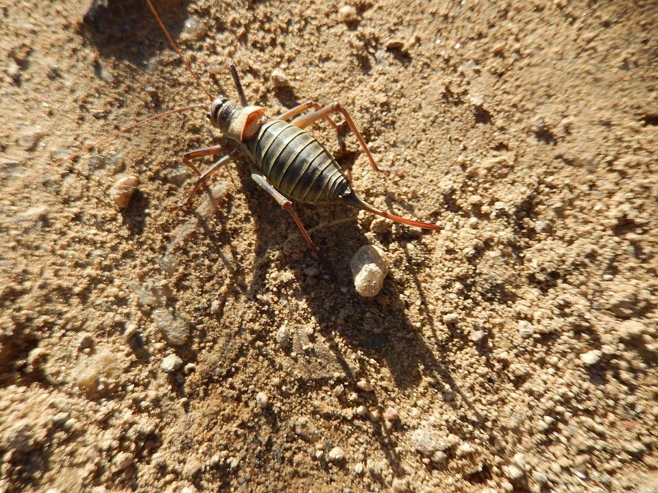 Grasshopper, Insect, Field, Pavezin