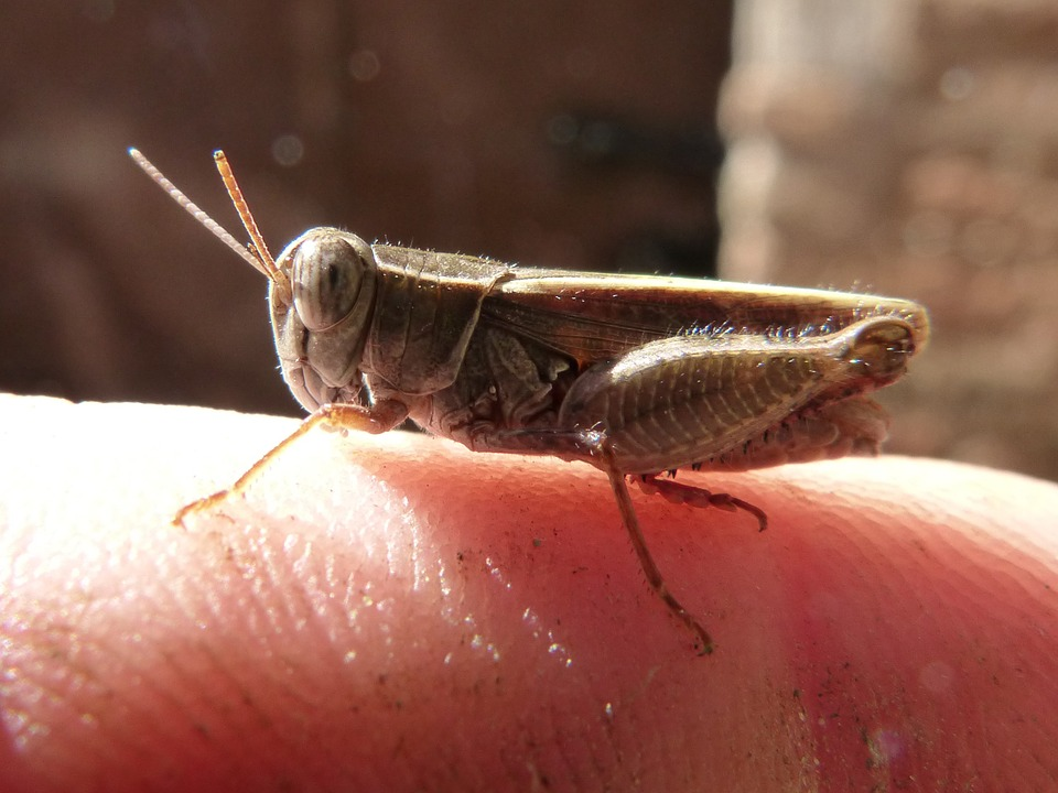 Grasshopper, Insect, Small, Finger