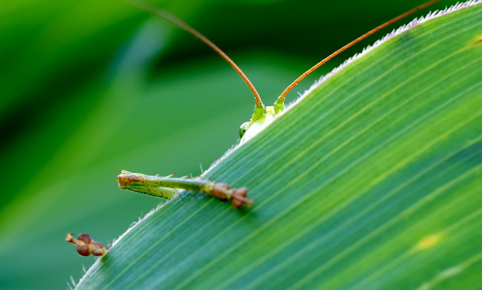 Grasshopper, Viridissima, Green, Corn Leaf, Hidden, Eye