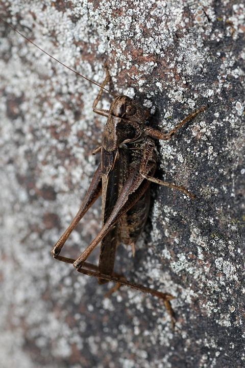 Grille, Grasshopper, Creature, Close Up, Viridissima