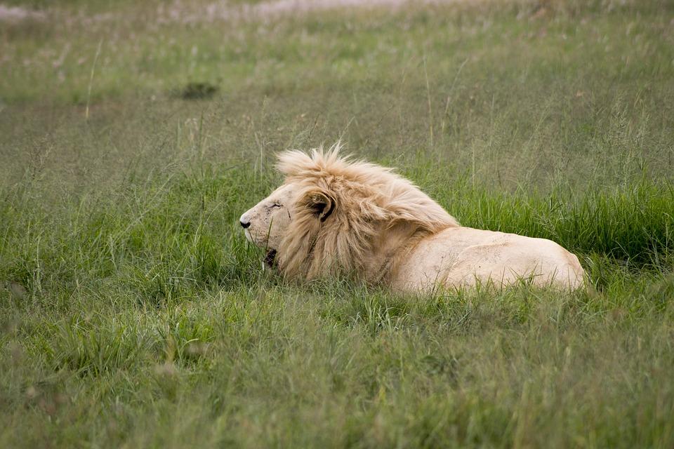 Animal, Big Cat, Cat, Feline, Field, Grass, Grassland