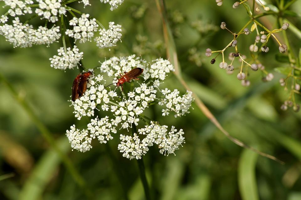 Wild Carrot, Plant, Grassland Plants, Wild Plant