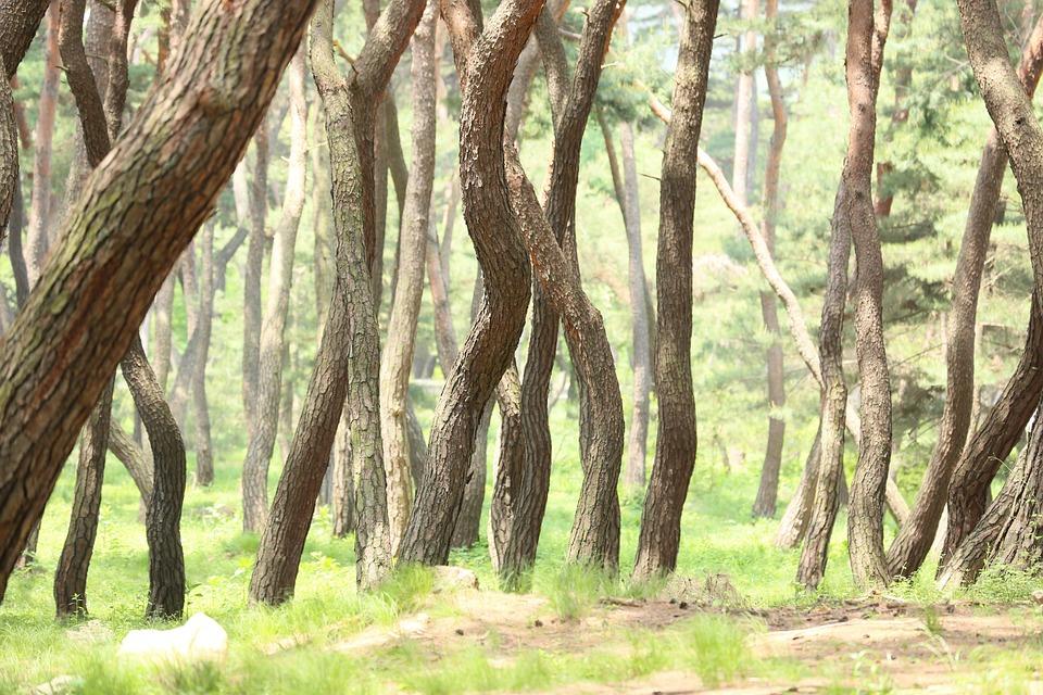 Pine, Racing, Samreung, Grave, Tomb, Pine Grove, Wood