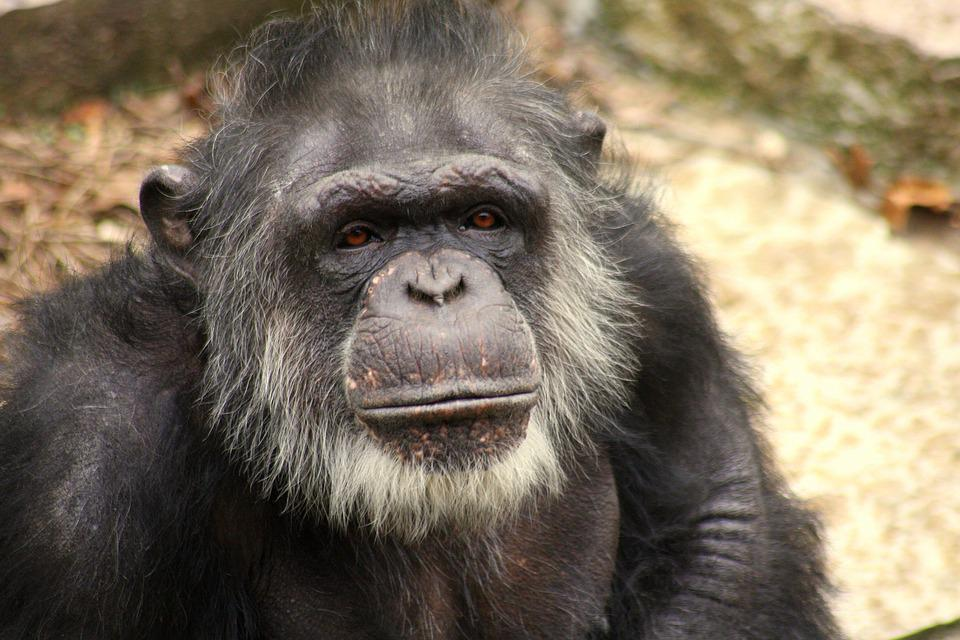 Chimp, Face, Old, Gray, Elderly, Wise, Ape, Animal