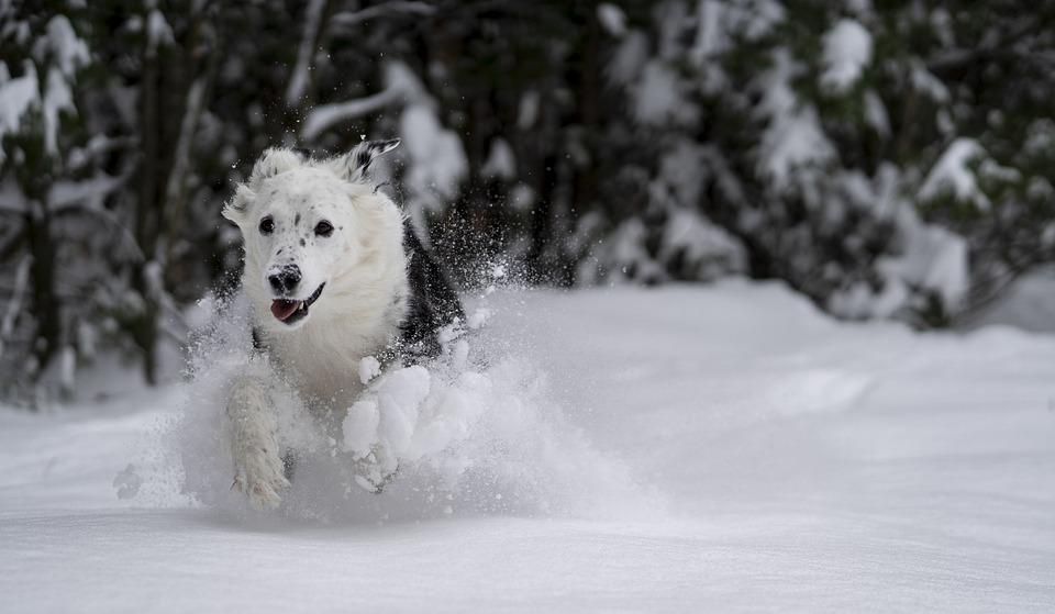 Dog, Snow, Play, Animal, Winter, Gray Dog, Gray Animals