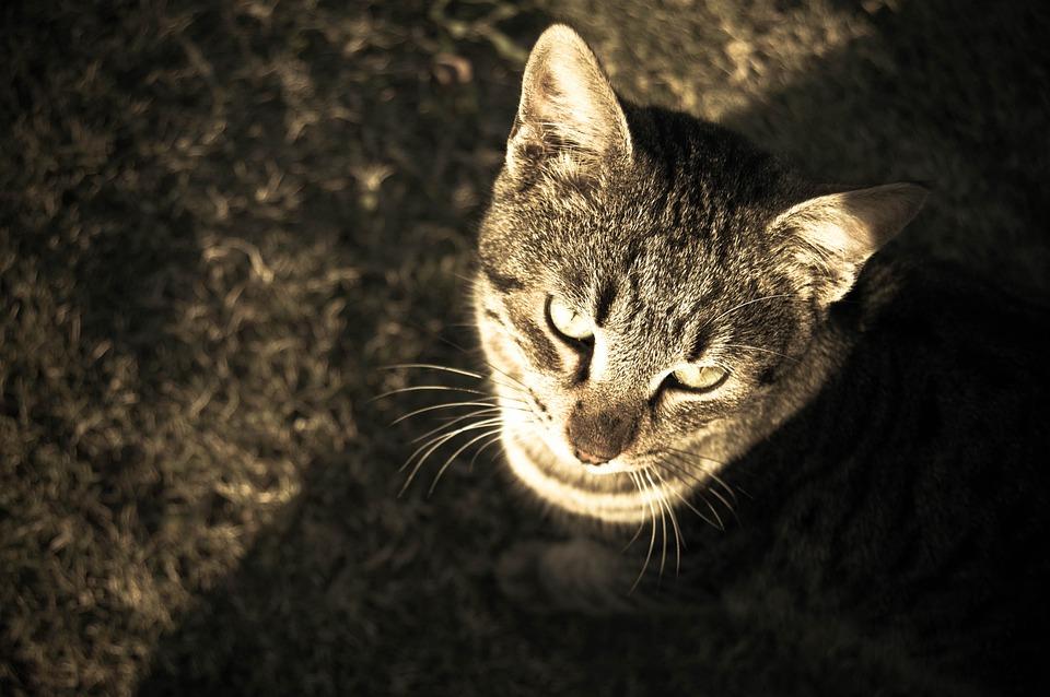 Cat, Animal, Pet, Sepia, Gray Fur, Look Up, Sunlight