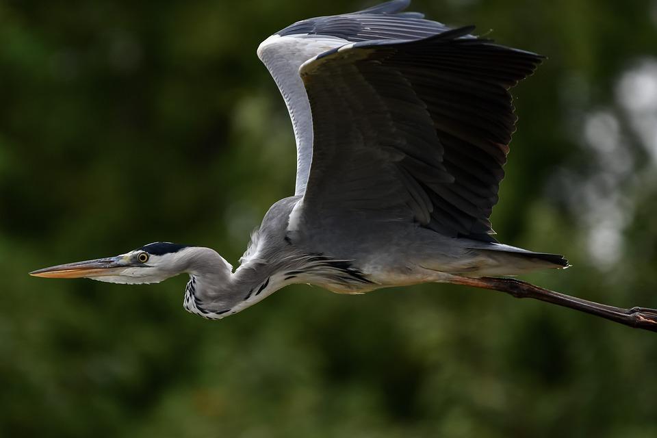 Bird, Gray Heron, Flight, Heron, Animal, Flying Bird