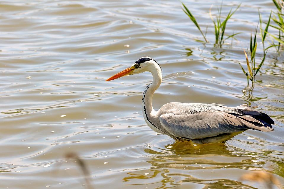 Gray Heron, Bird, Lake, Heron, Grey Heron