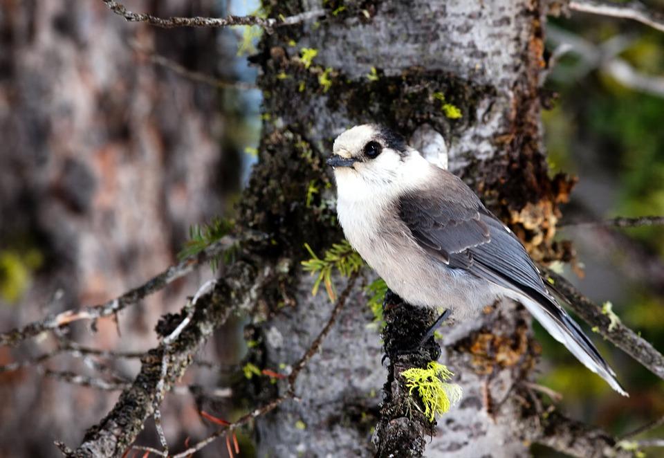 Gray Jay, Bird, Tree, Branch, Perch, Nature, Outside
