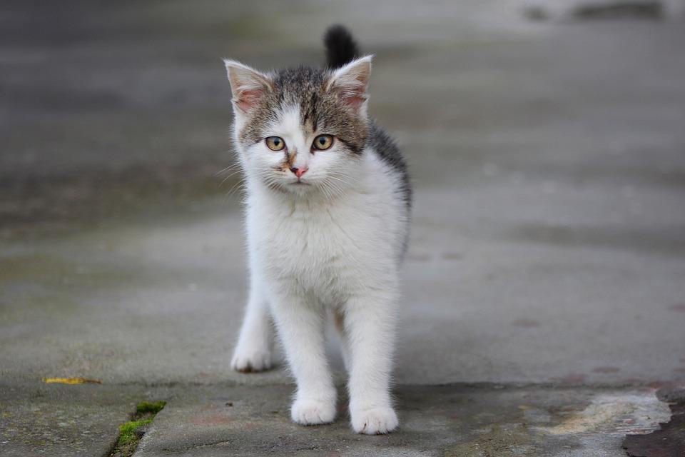 Cat, Kitten, Gray Kitty, A Young Kitten, Pet, Fur