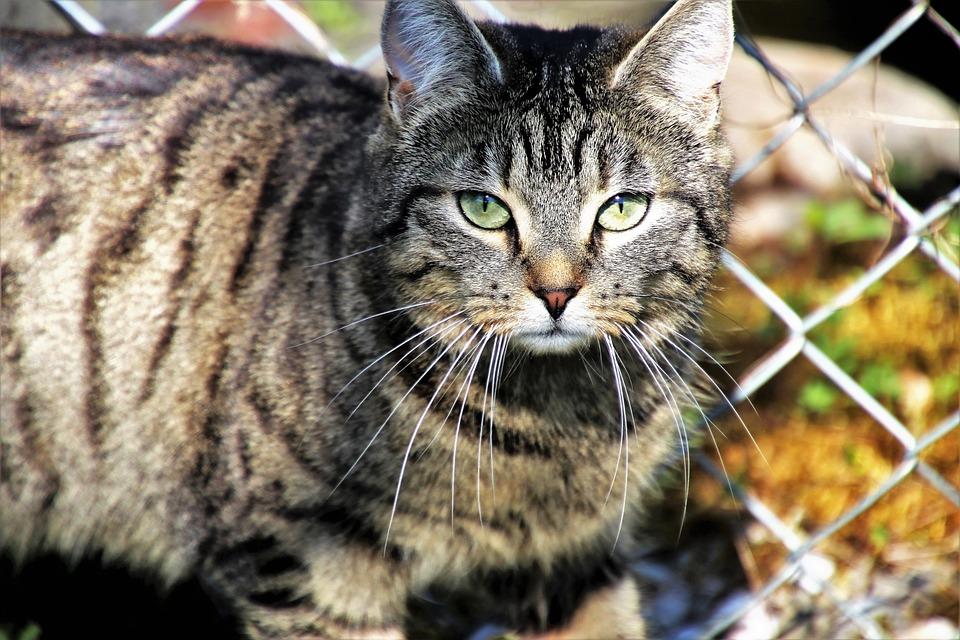 Cat, Gray, Animals, Nature, Portrait, Mammals, Charming