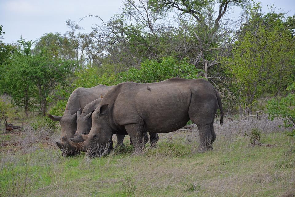 Rhino, Africa, Graze, Safari