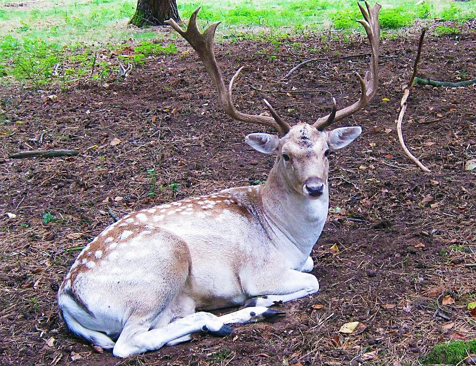 Fallow Deer, Fur, Stains, Antler, Scoop, Graze