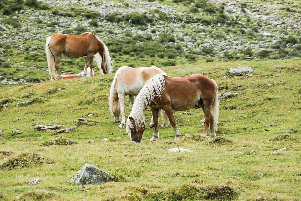 Horses, Horse, Alm, Meadow, Graze, Pasture
