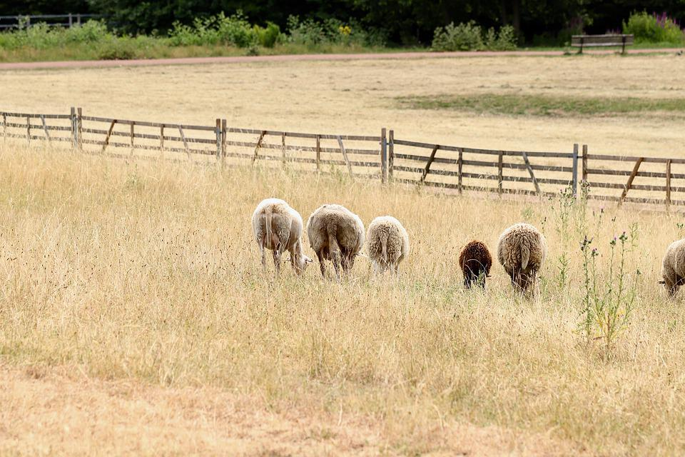 Sheep, Pasture, Graze, Animals, Mammals, Dry, Gate