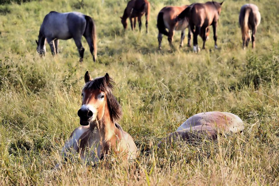 Horses, Pasture, Sleep, Graze