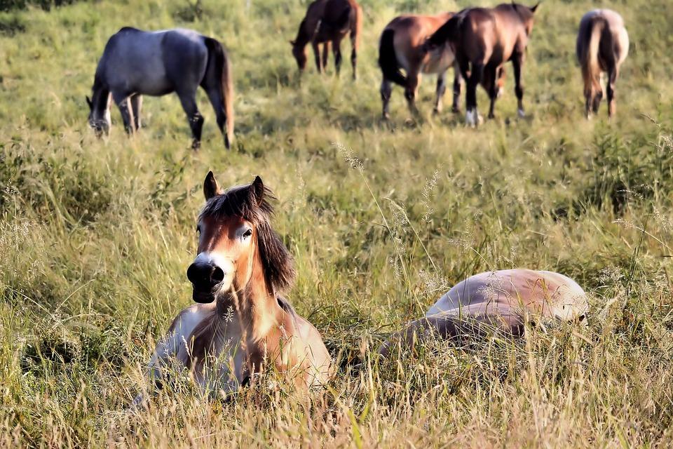 Horses, Pasture, Sleep, Graze