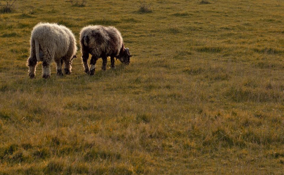Sheep, Ram, Wool, Pasture, Grass, Graze, Eat, Animals
