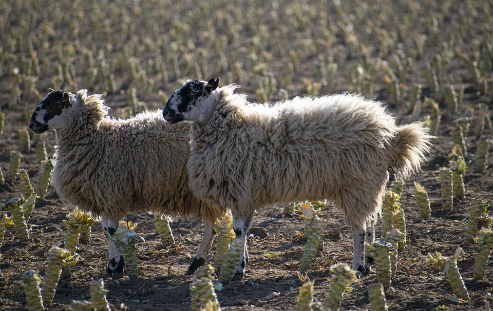 Sheep, Flock, Countryside, Agriculture, Field, Graze