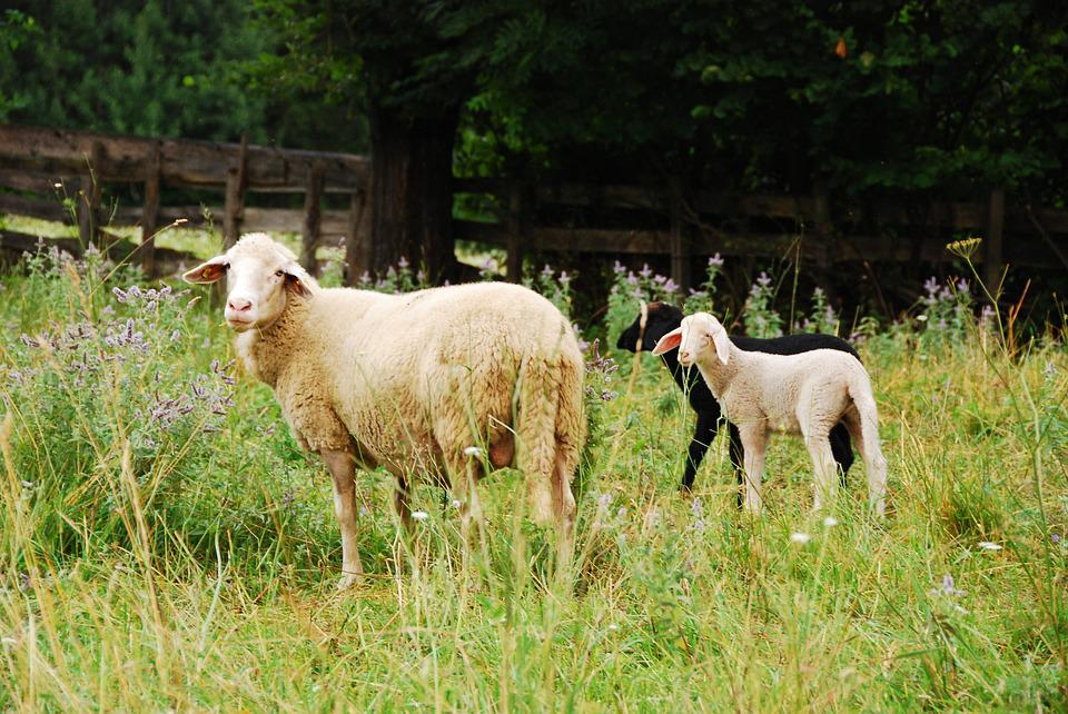 Sheep, Meadow, Nature, Pasture, Animal, Lamb, Graze
