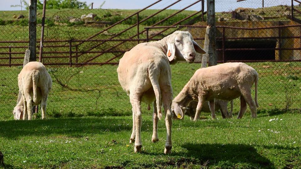Sheep, Graze, Grazing Sheep, The Animal On The Pasture