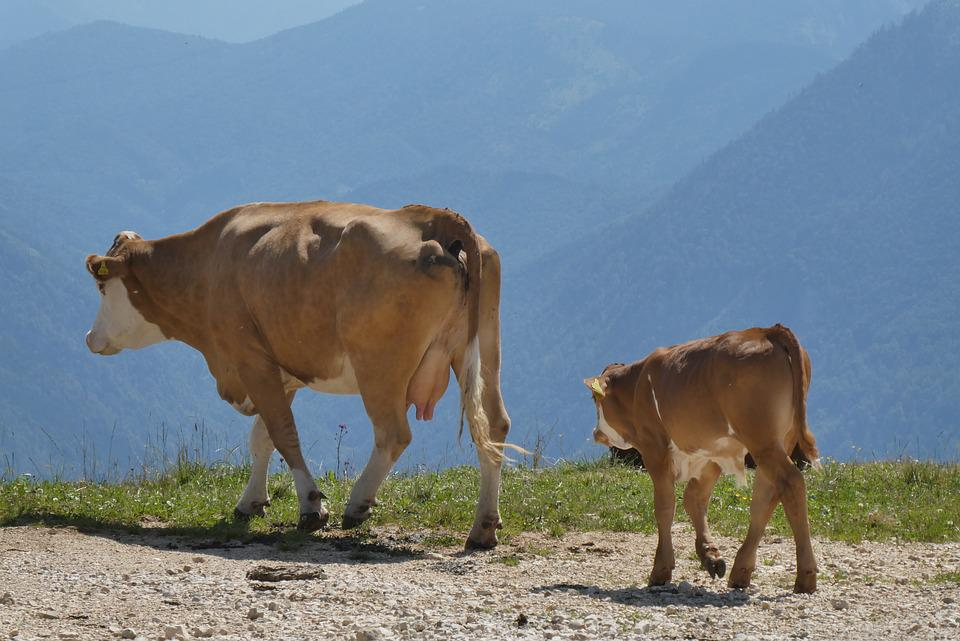 Cows, Alps, Meadow, Alpine, Mountains, Grazing