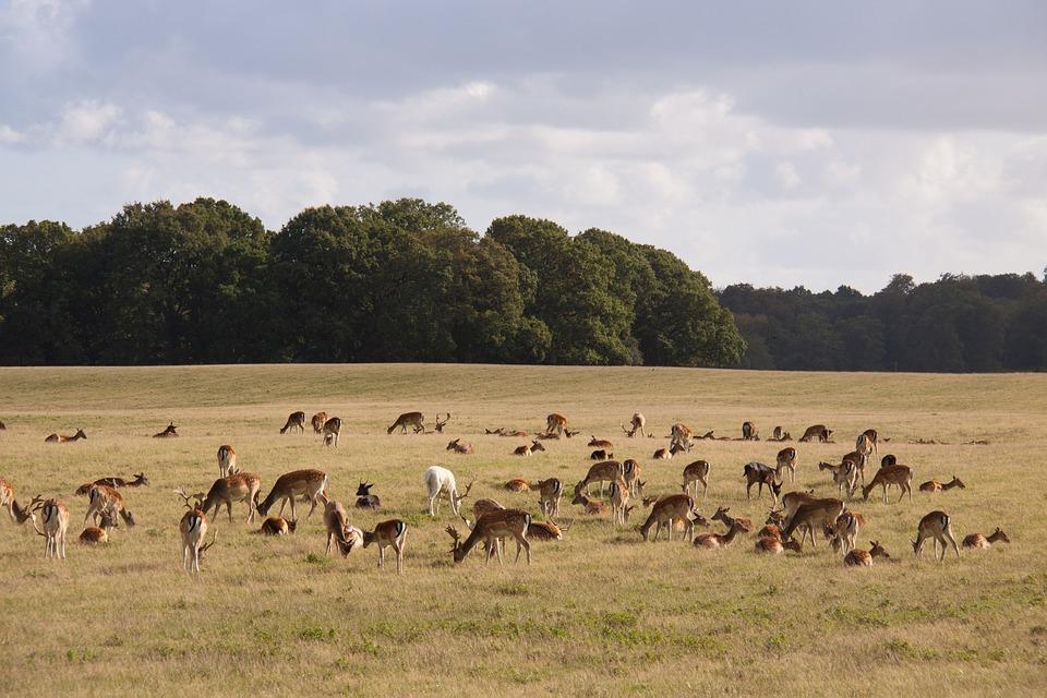 Grazing, Expensive, Deer, Natural, Outdoor, Eng