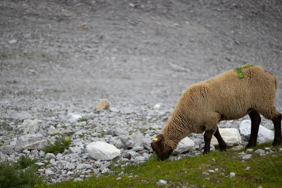 Sheep, Grazing, Pasture, Stones, Animal, Mammal