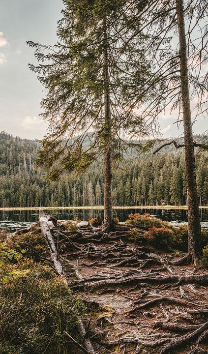 Great Arber Lake, Root, Away, Tree, Nature, Path