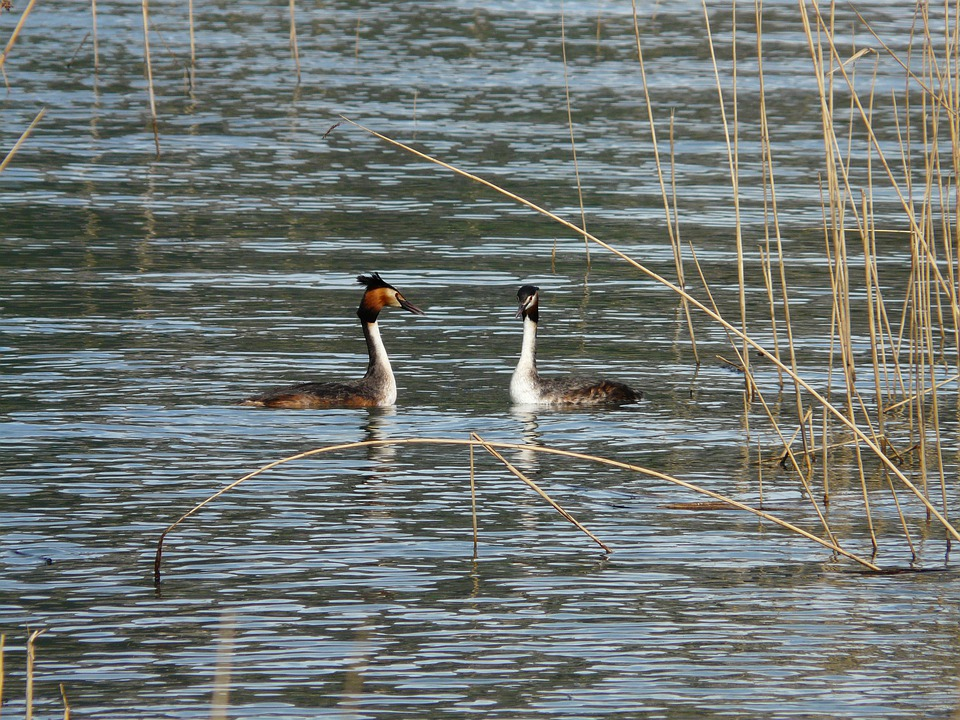 Great Crested Grebe, Podiceps Cristatus, Water Bird