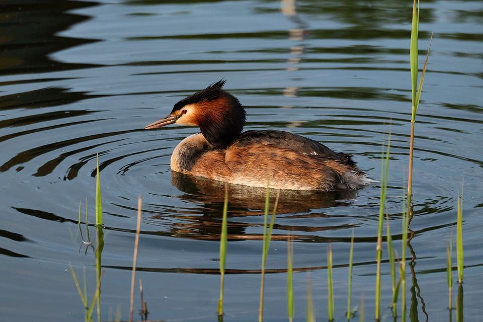 Great Crested Grebe, Water Bird, Water, Nature, Idyll