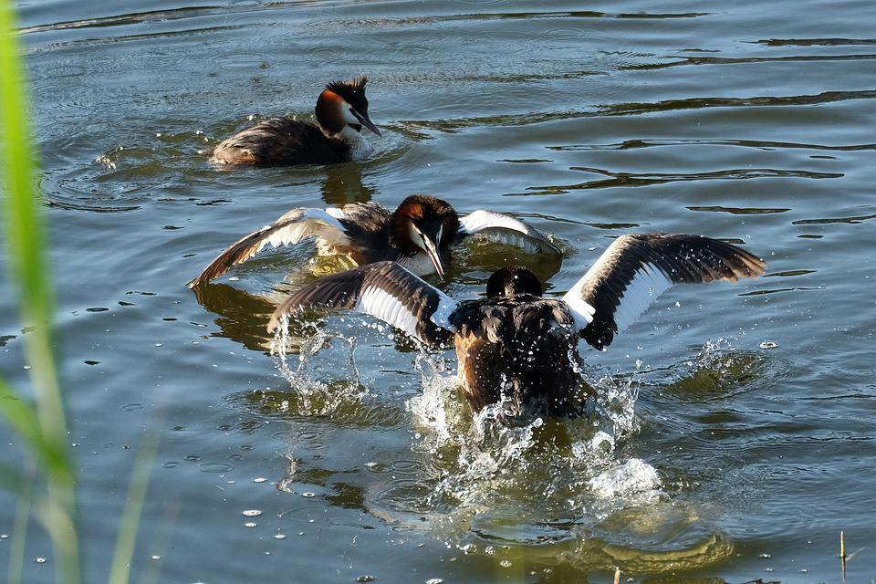 Great Crested Grebe, Water Bird, Balz, Water