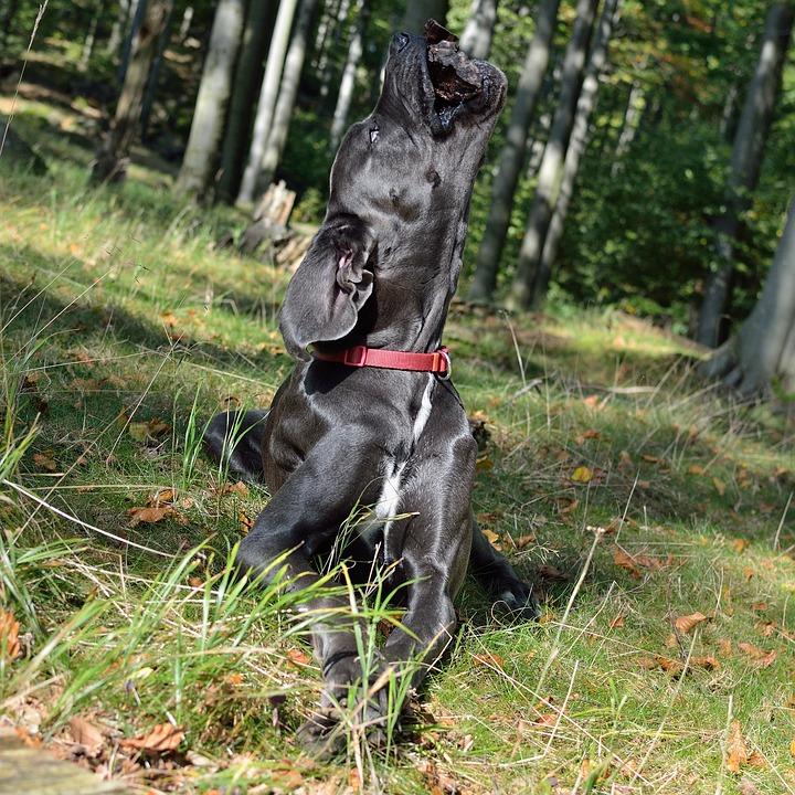 Great Dane, Dog, Angled Head