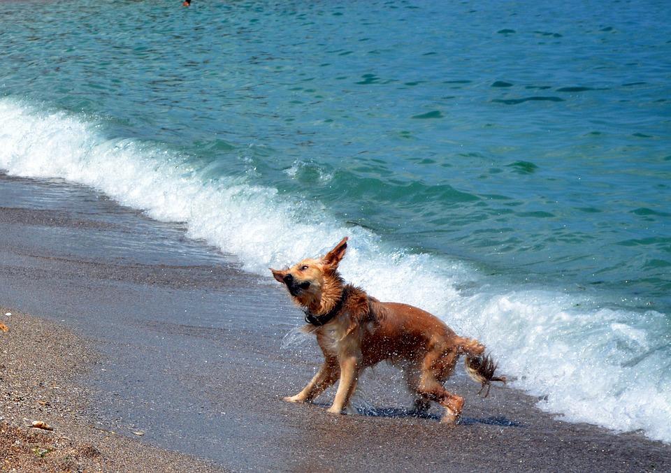 Dog, Water, Beach, Great, Wet