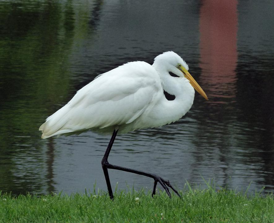 Egret, Great Egret, Heron, Bird, Wetlands, Great