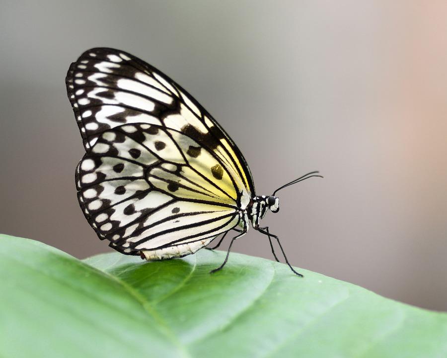 Butterfly, Exotic, Great Glider, Idea Leuconoe
