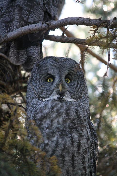 Great Gray Owl, Phantom Of The North, Cinereous