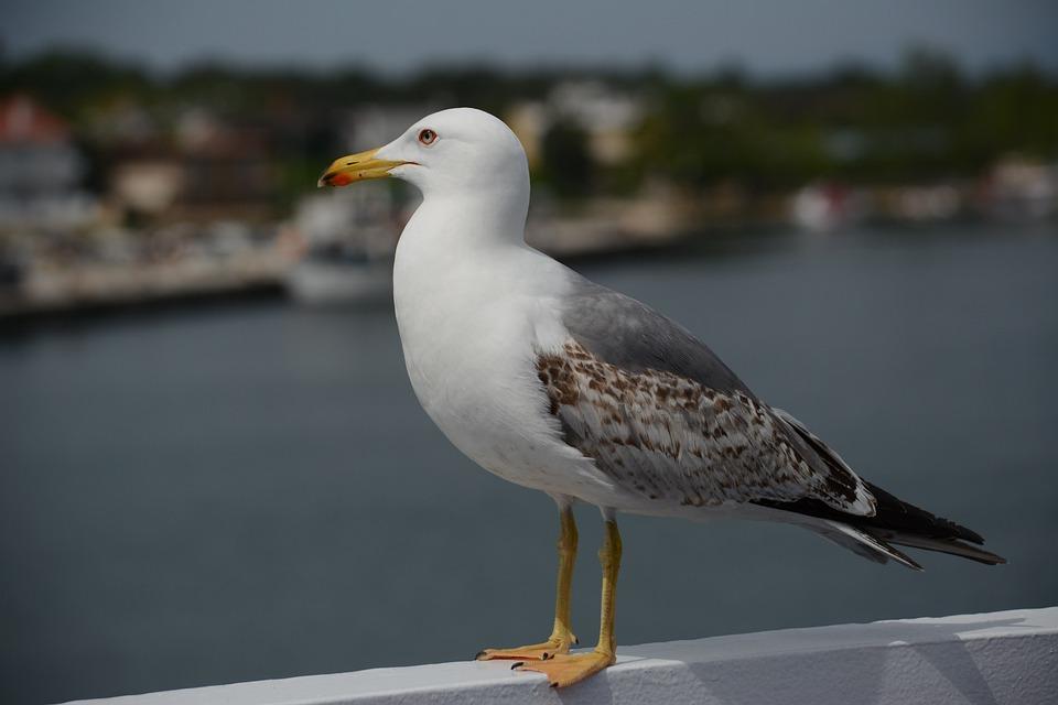 Seagull, Gull, Bird, Great, Seaside