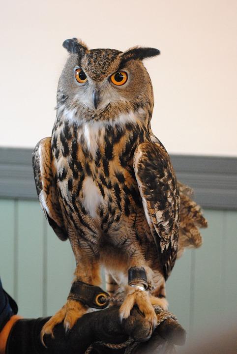 Owl, Great Horned Owl, Wildlife, Raptor, Falconry