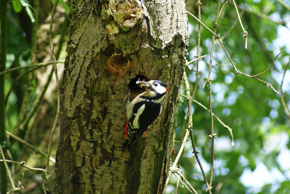 Great Spotted Woodpecker, Woodpecker, Bird, Fauna