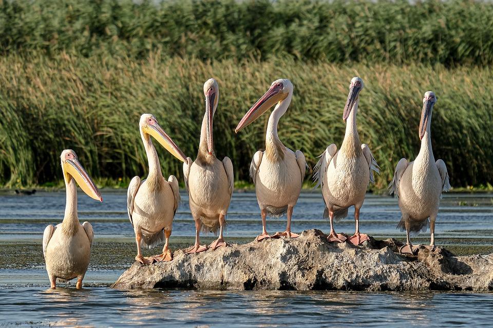Great White Pelicans, Birdwatching, Danubedelta