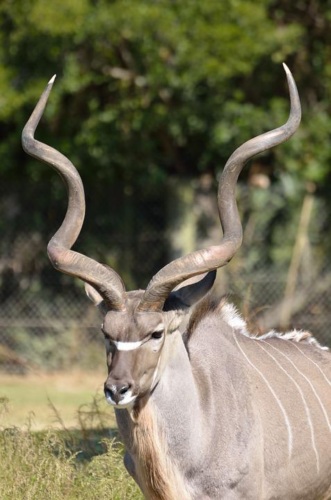 Greater Kudu, Animal, Zoo, Wildlife, Kudu, Nature