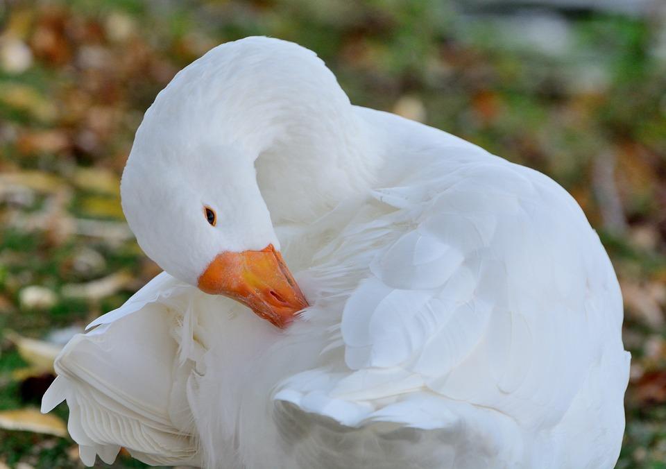 Greater Snow Goose, Geese, Bird, White, Plumage