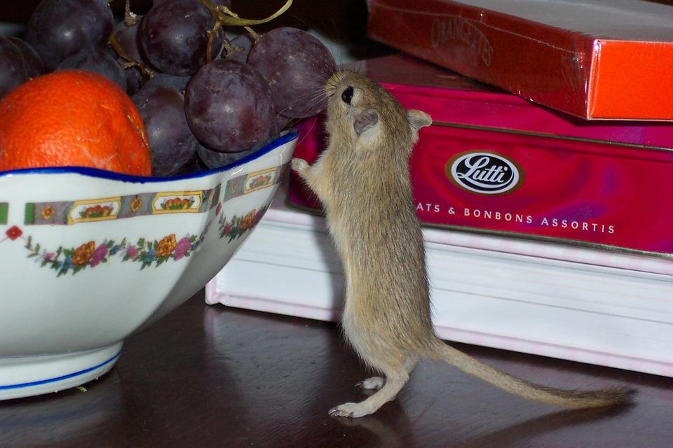 Gerbil, Greedy, Fruit, Mouse, Rodent