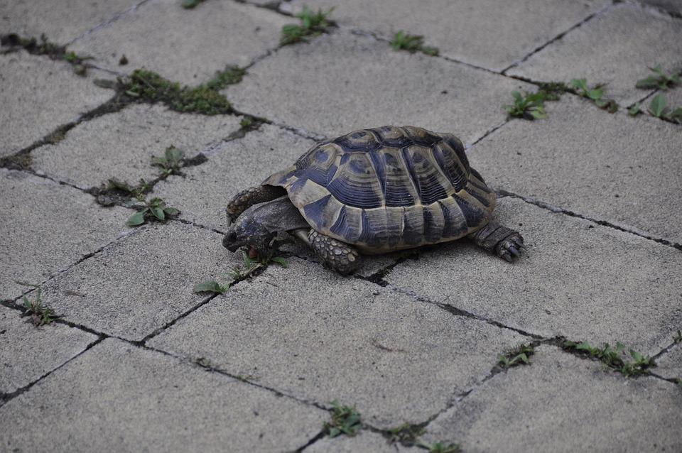 Greek Tortoise, Turtle, Reptile