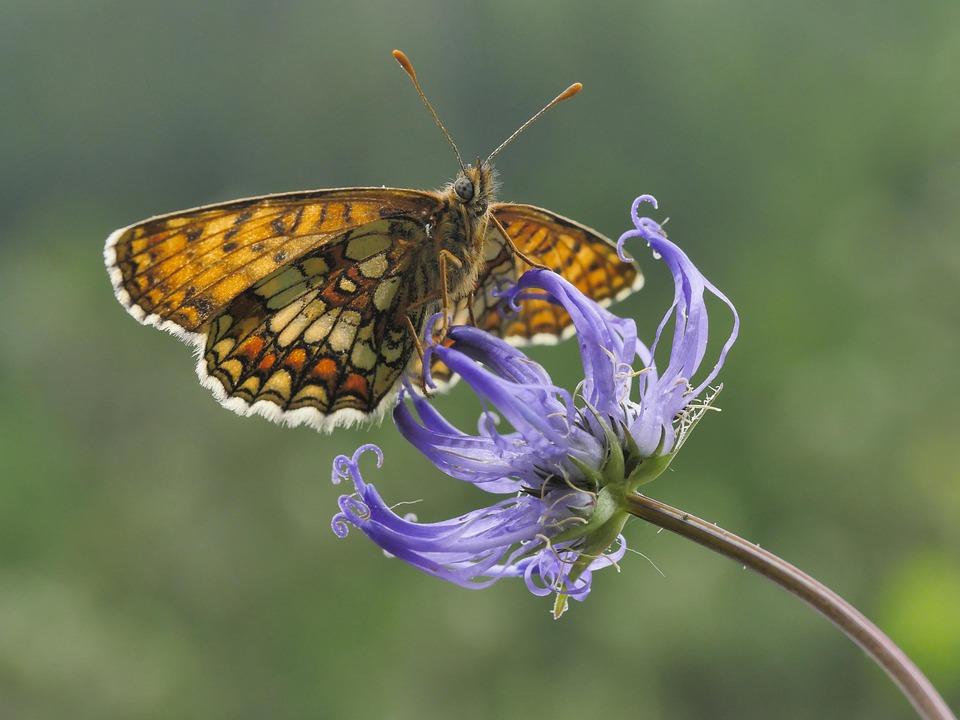 Western, Fritillary, Devil's Claw, Green, Alpine Flower