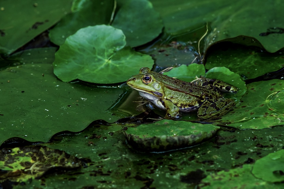 Frog, Amphibian, Pond, Green, Water, Nature, Water Frog