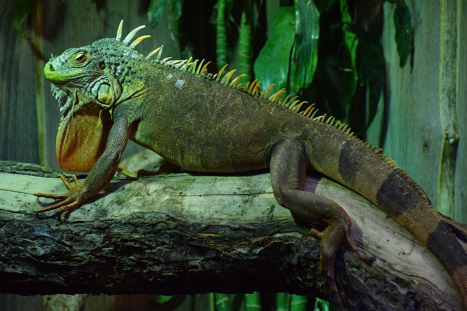 Iguana, Exotic Animal, Reptile, Green, Nature, Animal