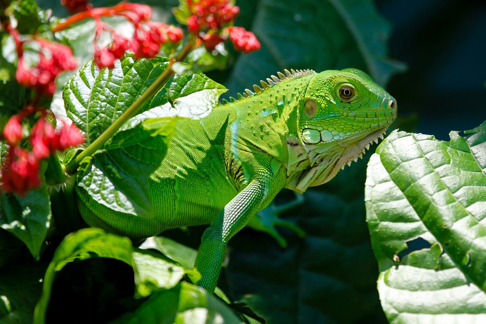 Iguana, Reptile, Animals, Lizard, Green, Nature