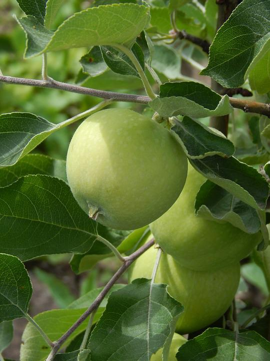 green apple fruit tree. apple, green branch with leaves, fruit apple tree